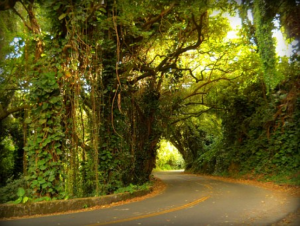 The winding path of haunted Nu'uanu Pali Drive, overhung with vines and leaves. The area is haunted by a suicidal spirit who drags her severed head behind her.